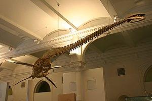 Plesiosauroidea - Reconstructed skeleton of Thalassomedon hanningtoni, an elasmosaurid