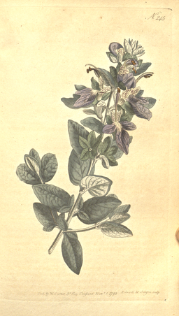 The Botanical Magazine, Plate 245 (Volume 7, 1794)