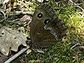 The Dryad (Minois dryas) (8337427185).jpg