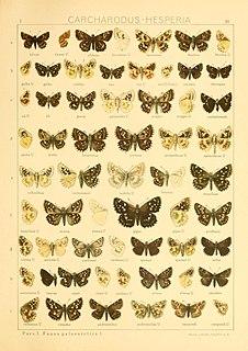 <i>Pyrgus speyeri</i> Species of skipper butterfly genus Pyrgus