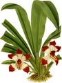 The Orchid Album-01-0053-0017-Pescatorea klabochorum-crop.png