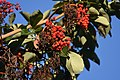 The Pacific Madrone tree's berries, where we looked and looked for Varied Thrush (30682891697).jpg