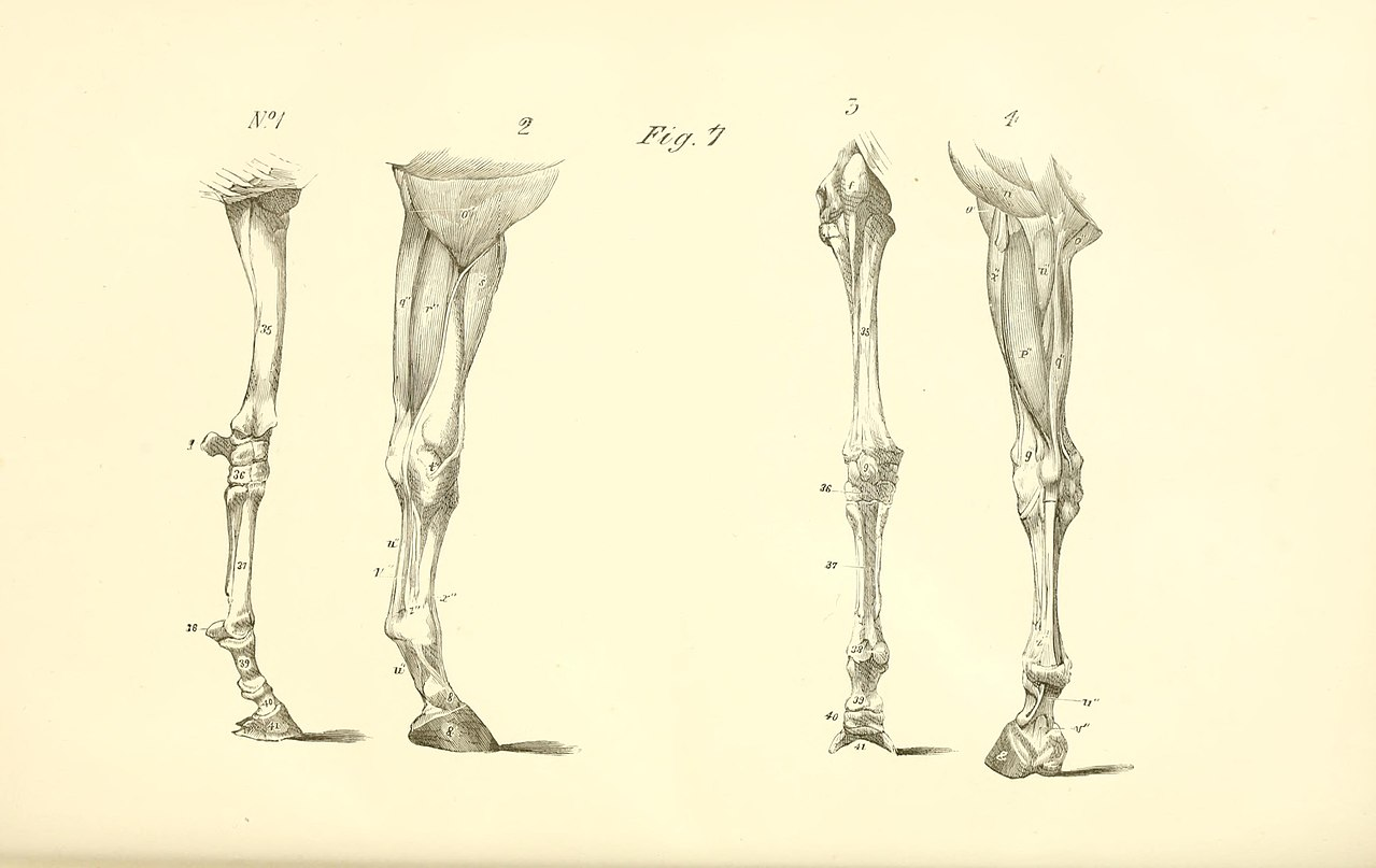 File:The anatomy and physiology of the horse BHL19829925.jpg ...
