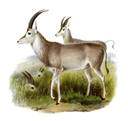 The book of antelopes (1894) Hippotragus leucophaeus.png