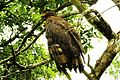 The serpent eagle.jpg