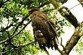 The serpent eagle.jpg