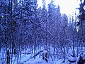 The winter forest. The shrubbery. November 2013. - Зимний лес. Кустарник. Ноябрь 2013. - panoramio.jpg