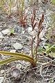 Thelymitra longifolia kz03.jpg