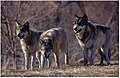 Three wolves growling.jpg