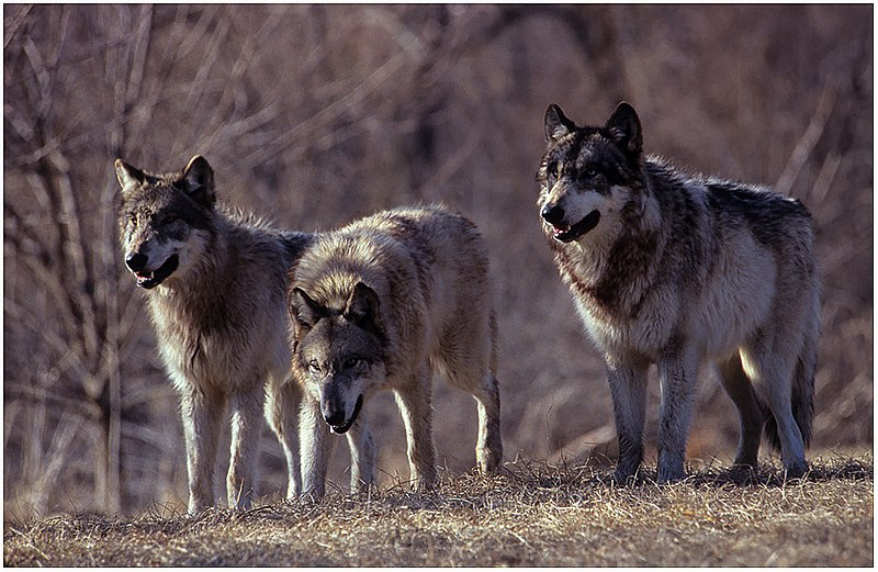 File:Three wolves growling.jpg