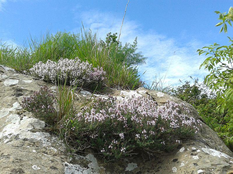 File:Thymus fasce.jpg