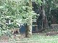 Tigers in Zoo Negara Malaysia (30).jpg