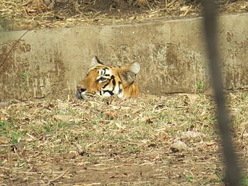 Tigress of tadoba.jpg