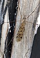 Tipula rufina (33751647746).jpg