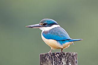 Sacred kingfisher - Wonga, Queensland, Australia