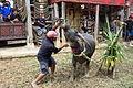 Toraja sacrifice.JPG