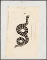Tortrix scytale - 1700-1880 - Print - Iconographia Zoologica - Special Collections University of Amsterdam - UBA01 IZ11400047.tif
