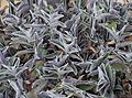 Tradescantia sillamontana in Tropengewächshäuser des Botanischen Gartens.jpg