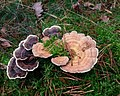 Trametes versicolor different colours.jpg
