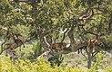 Tree-climbing lions (Panthera leo).jpg