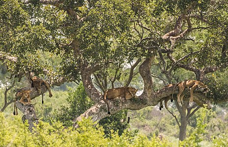 Five tree-climbing lions (Panthera leo)