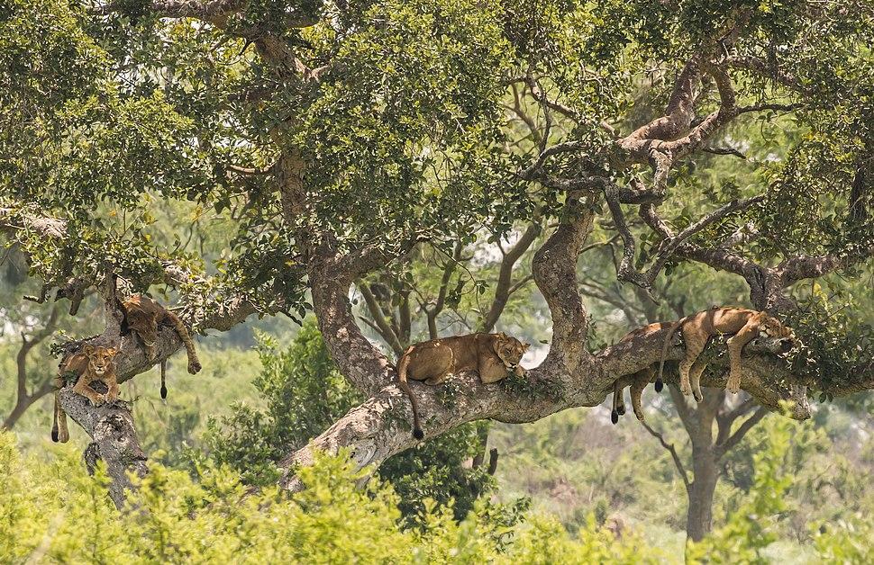 Tree-climbing lions (Panthera leo)