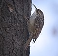 Treecreeper (30547266144).jpg