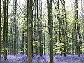 Trees and bluebells, West Woods, near Marlborough - geograph.org.uk - 409983.jpg