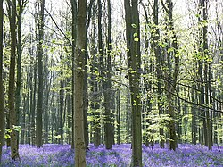 Trees and bluebells, West Woods, near Marlborough - geograph.org.uk - 409983.jpg