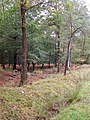 Trees in the Denny Lodge Inclosure, New Forest - geograph.org.uk - 267068.jpg