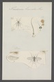 Trichocera - Print - Iconographia Zoologica - Special Collections University of Amsterdam - UBAINV0274 038 03 0040.tif