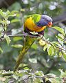 Trichoglossus moluccanus 690V1223 - Flickr - Lip Kee.jpg
