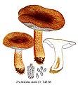 Tricholoma stans-Icon-Mycol.-Tab-66.jpg