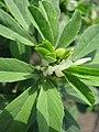 Trigonella foenum-graecum - Гуньба сінна - Молода рослина на початку цвітіння.jpg