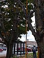 Trimming maple tree downtown Lyndonville VT October 2018.jpg