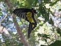 Troides minos - Sahyadri Birdwing - Aralam Butterfly Survey at Kottiyoor, 2019 (3).jpg
