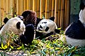 Trois pandas madrid.jpg