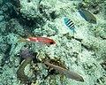 Tropical fish at Cabezas, Fajardo, Puerto Rico 02.jpg