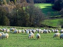 Un troupeau de moutons dans le Pays basque