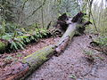 Tryon Creek State Natural Area, tree along trail.JPG
