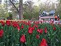 Tulip Festival in assiniboine park winnipeg manitoba canada 1 (6).JPG