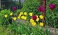 Tulipany w ogrodzie.jpg