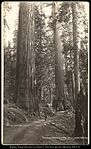 Tunneled Tree Wawona Mariposa Big Trees, Cal. C.R. Savage, Salt Lake.jpg