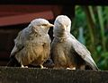 Turdoides affinis (pair) -Sri Lanka-8.jpg
