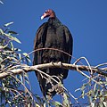 Turkey Vulture (11610853745).jpg