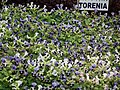 Turonia from Lalbagh flower show Aug 2013 8400.JPG