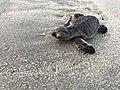 Turtle Release at Emirates Marine Reserve Dubai.jpg