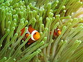 Two Amphiprion ocellaris at Gilli Banta.JPG