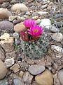 Uinta Basin Hookless Cactus (Sclerocatus wetlandicus) (16795787778).jpg