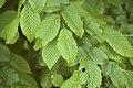 Ulmus sp. (Orme sp. ).jpg
